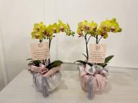 [부산꽃배달]상견례보자기호접란 11호
